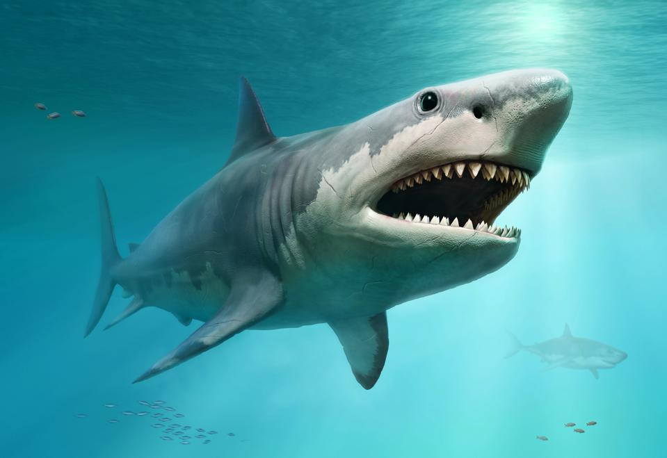 Great White Sharks May Be The Reason Why Giant Megalodon Shark Is Extinct