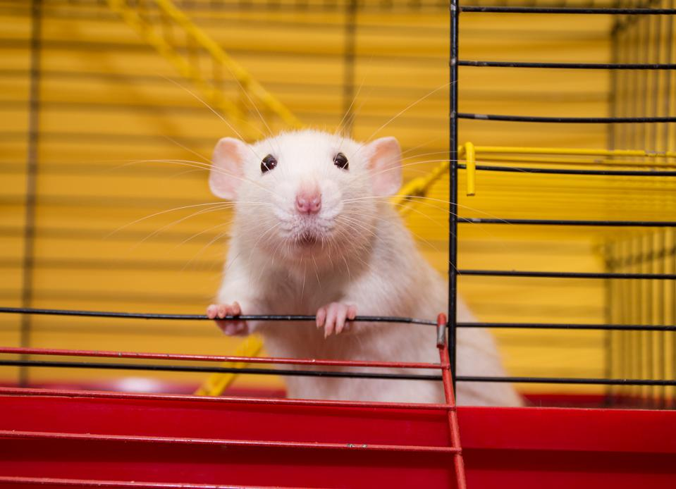 """'Longevity Protein' Regenerates Muscle In Old Mice that """"Parallels"""" Their Young Counterparts"""
