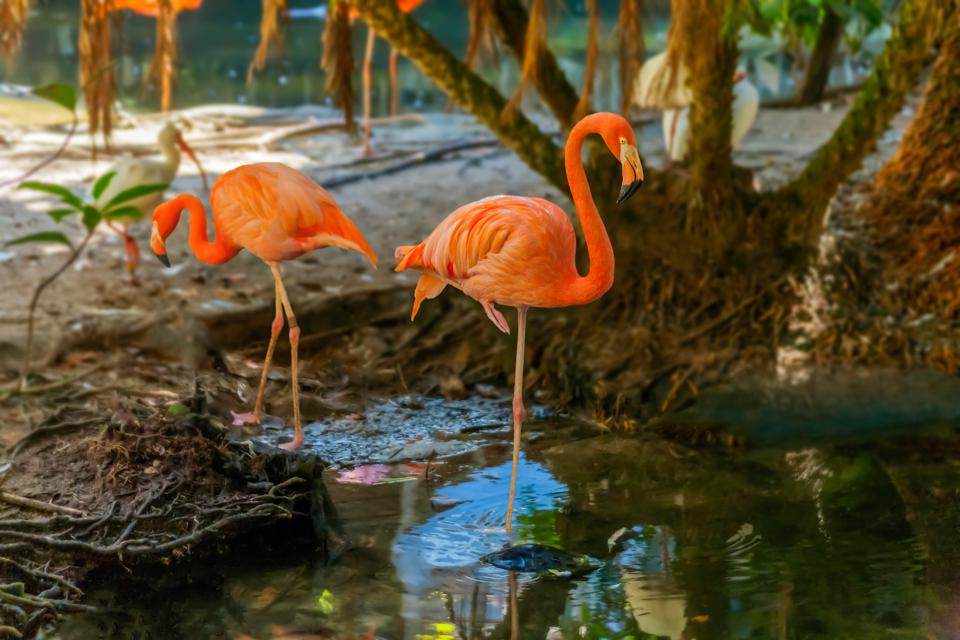 Physics, Not Genetics, Explains Why Flamingos Stand On One Leg