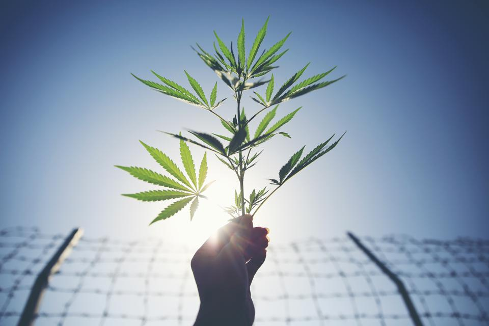 Cannabis Is Creating A Boom For Biological Pesticides