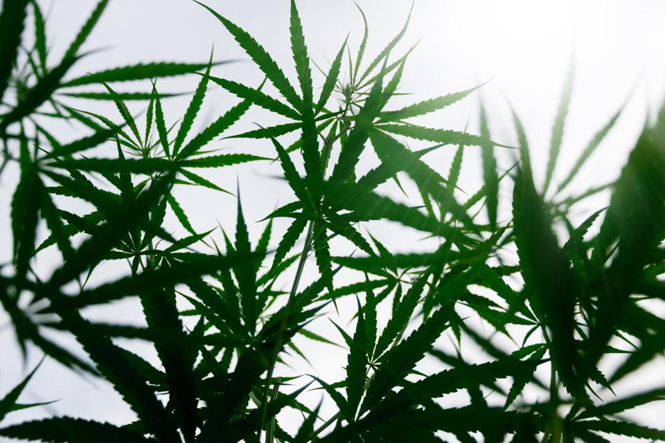Is DEA Being Forced To Reschedule The CBD Compound?