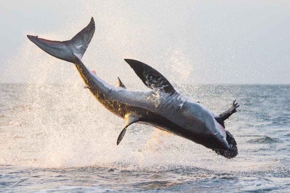 Move Over Great White Shark: A New Shark Rules South African Waters