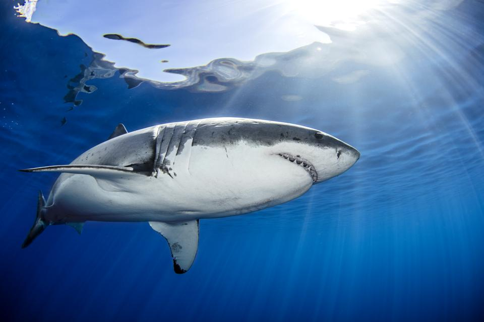 Great White Shark Super Powers Revealed By Genome