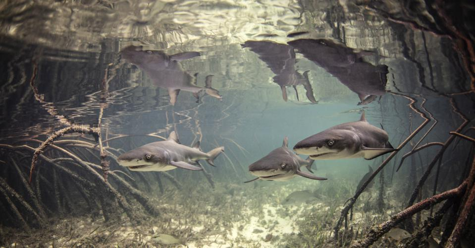 Do Sharks Know When Hurricanes Are Coming?