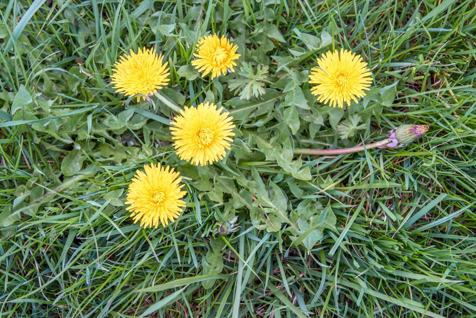 Letting Your Garden Grow: Weed Your Dandelions