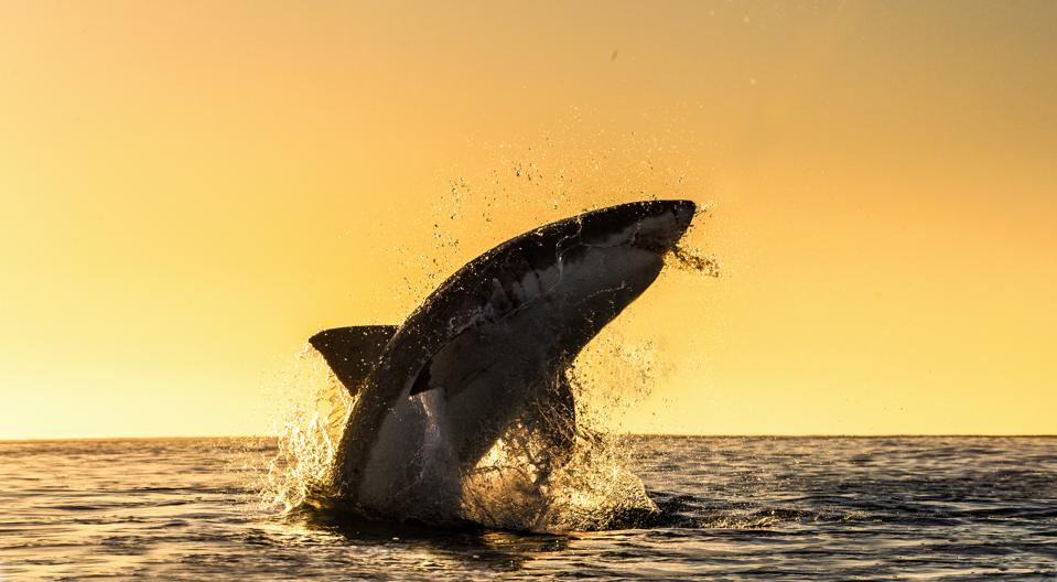 Great White Shark Vs. Orcas. Who Wins? Not Who You Think.