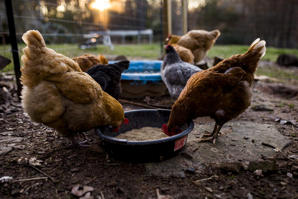 Latest Salmonella Outbreak: Do You Have Chickens In The Backyard?