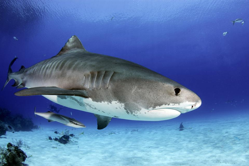 Scientists Didn't Know Baby Tiger Sharks Ate This