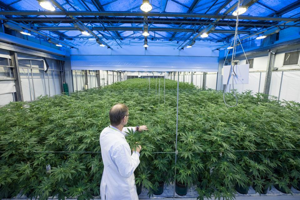 Cannabis Goes Global While The U.S. Falls Behind