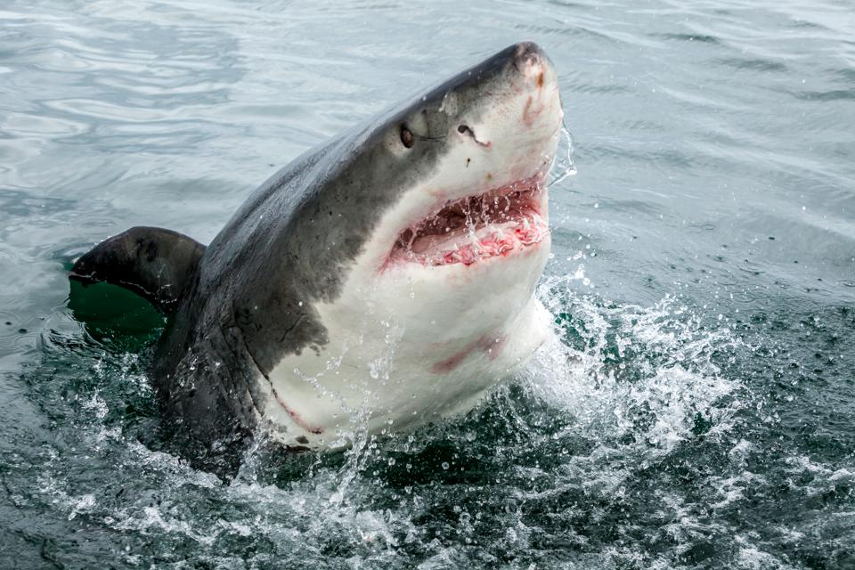 Surf Burgers >> The Annual Worldwide Shark Attack Summary Is Out