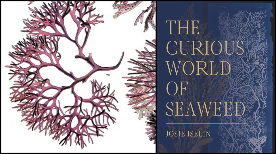 The Cover of The Curious World of Seaweed by Josie Iselin sits to the left of an illustration of some red algae