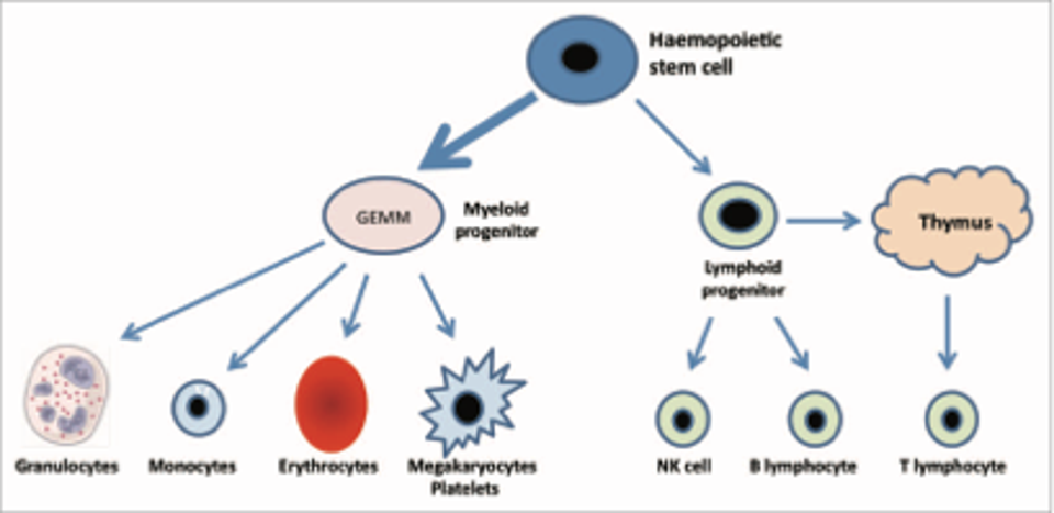 Blood cell generation from the pluripotent stem cell