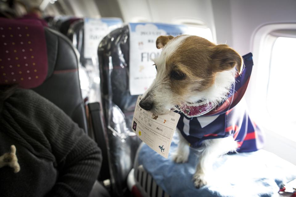 In memory of the dog who died on the plane travel tips for Traveling on a plane with a dog