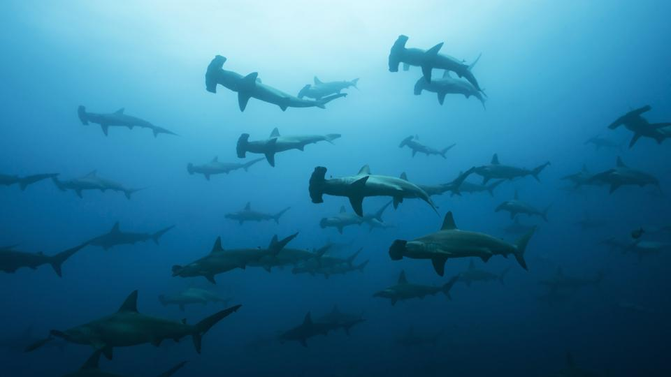 Scientists Just Found Where Shark Sex Happens In The Galapagos