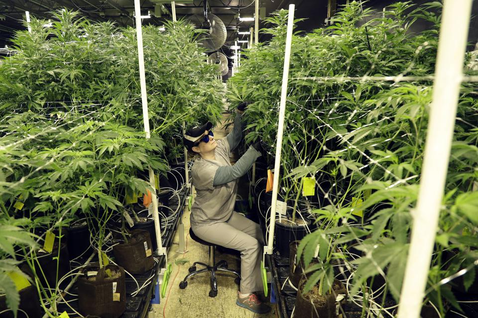 Canna-Biz Taxation: A Mixed Bag For Growers, Consumers And Taxing Authorities