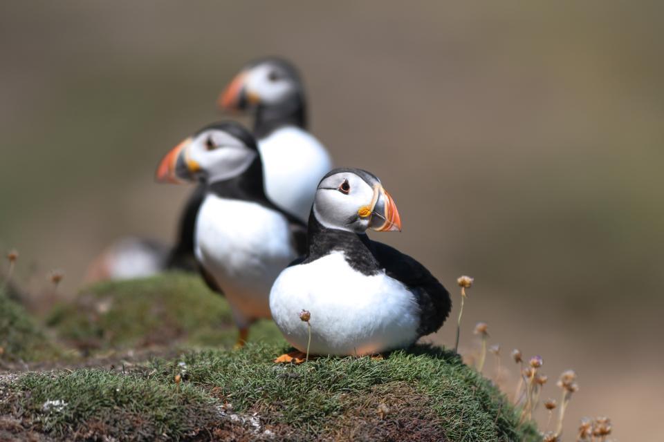 puffins Newfoundland