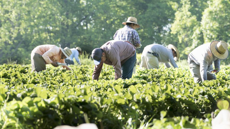 Migrant workers picking strawberries in California.