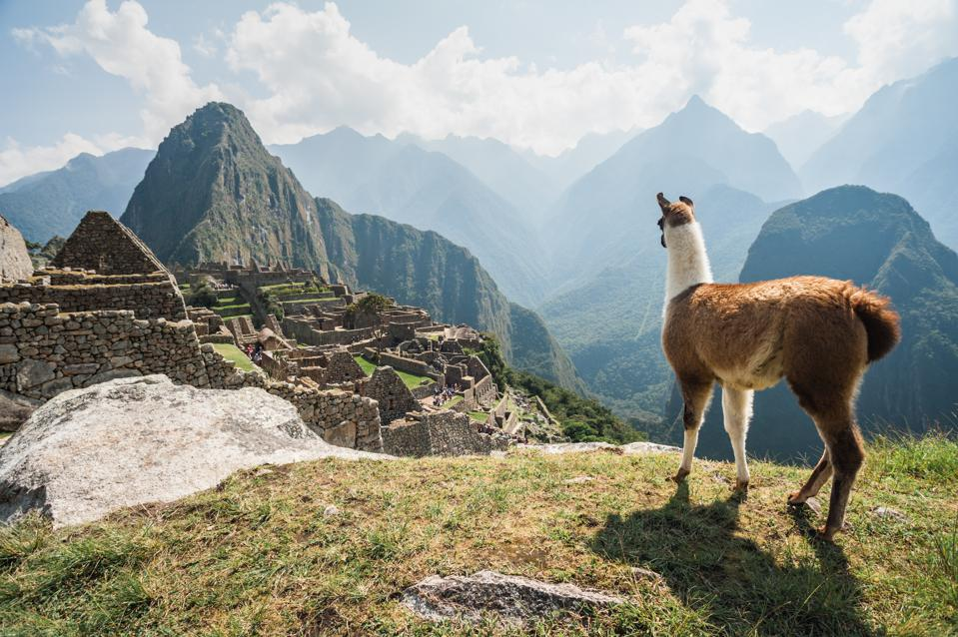 Llama overlooking ruins of the ancient city of Machu Picchu, Peru.