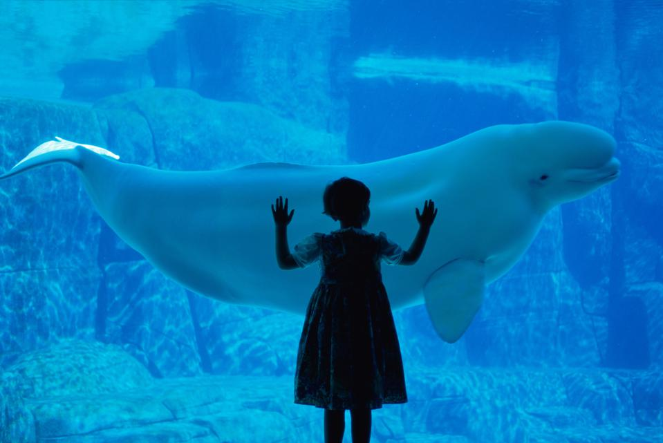 A child watching a beluga whale at the Vancouver Aquarium. Beluga whales and other marine mammals may be susceptible to infection by coronavirus, too.