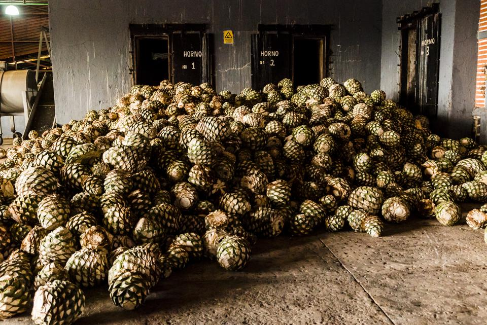 Blue agave bolas, referred to as pineapples, sit in a pile in a tequila distillery in Jalisco state, Mexico.