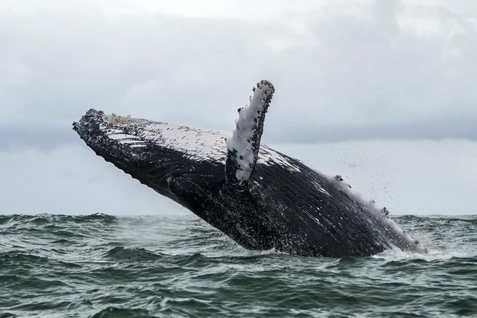 A Humpback whale jumps in the surface of the Pacific Ocean