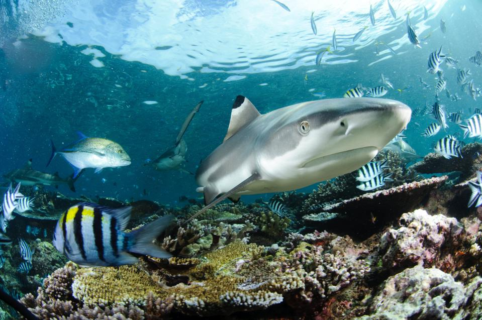 A blacktip reef shark swimming with fish in Fiji.
