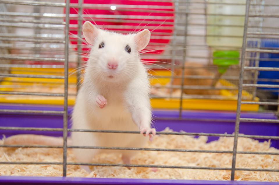 Funny white laboratory rat standing and looking out of a cage