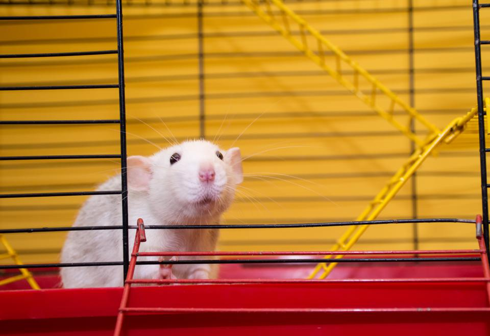 Cute laboratory rat of the dumbo breed looking out of a cage