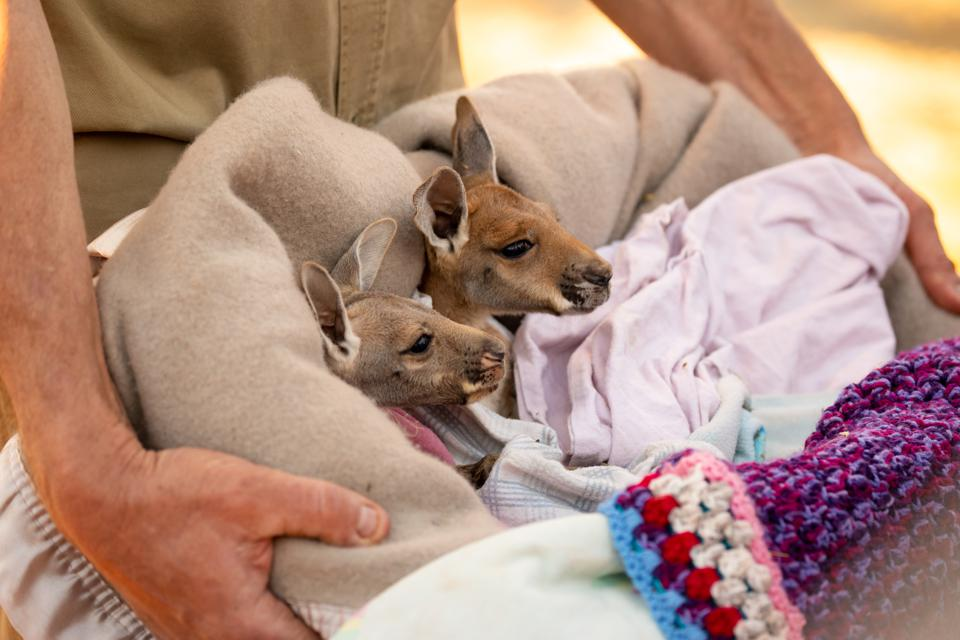 Totally cute Baby Red Kangaroo Joeys nestled in a warm blanket