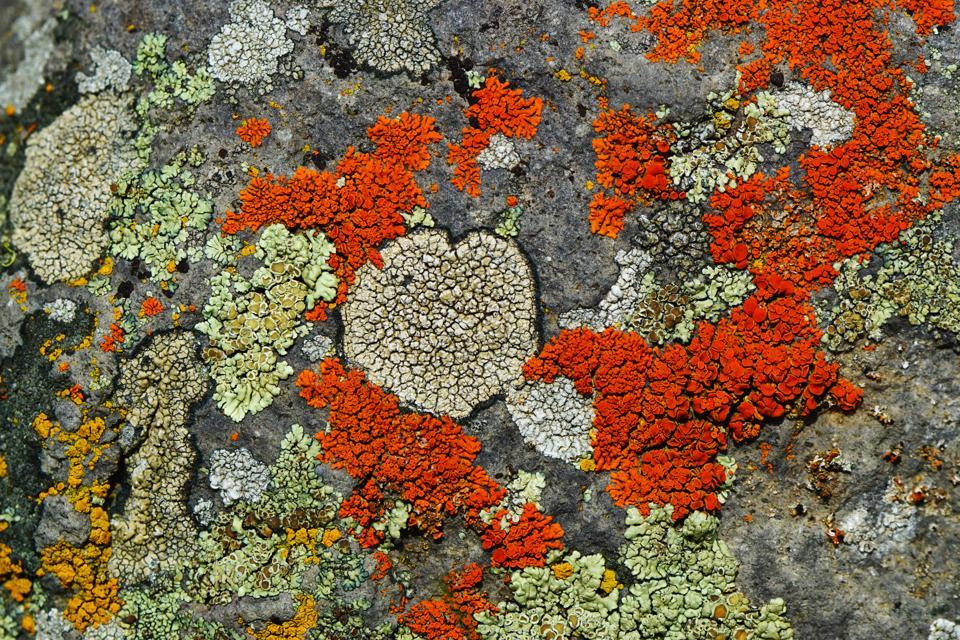 Orange white and yellow lichen on the gray rock