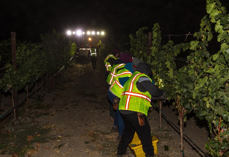 Grape Harvest Underway in Santa Barbara County