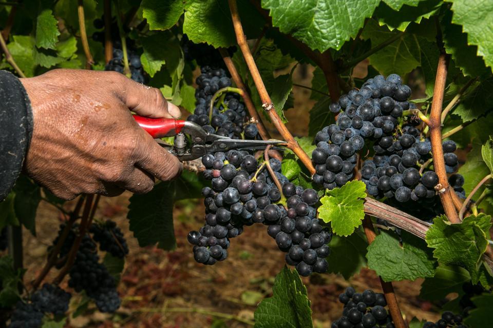 Grape Harvest Underway in Sonoma County