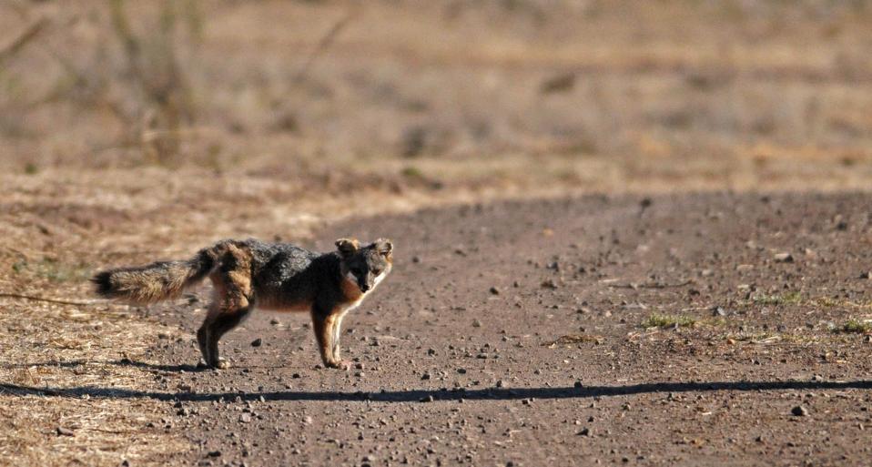 Catalina Island fox walks along a road.
