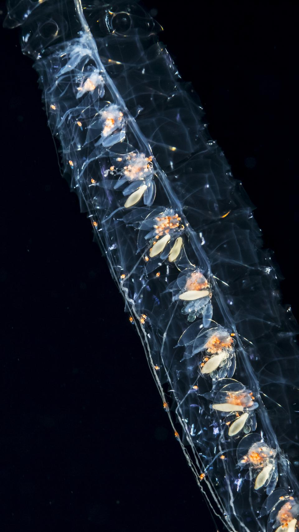 Close-up of the jelly-like siphonophore, showing the zooids that make up the colony.