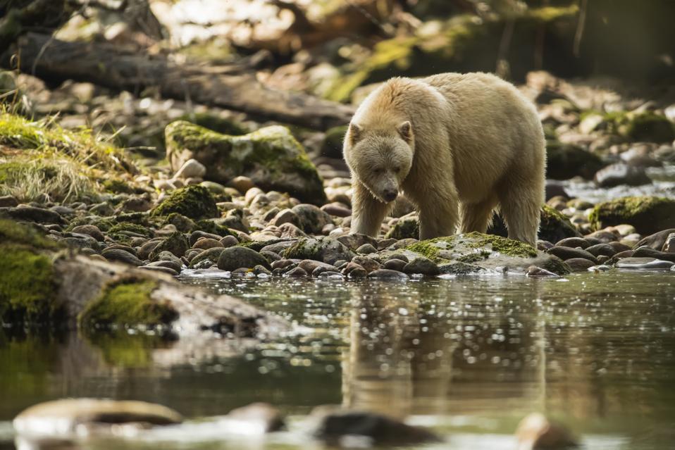 Spirit Bear, or Kermode Bear, (Ursus americanus kermodei) walking along the water's edge in the Great Bear Rainforest