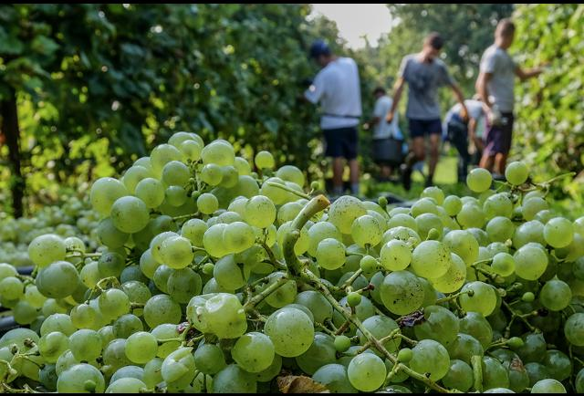Prosecco Producers Aim To Grow Without Glyphosate