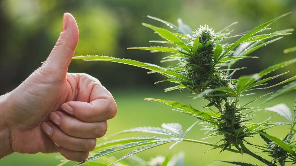 Gesturing thumbs up for good harvest of marijuana. Cannabis plant for alternative medicine.