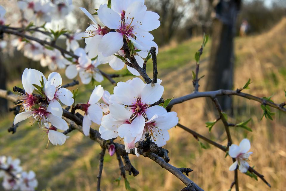 Almond tree in bloom.