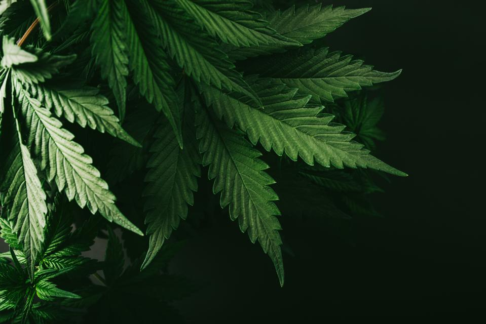 Is saying that marijuana is only a plant really a good argument for legalization?
