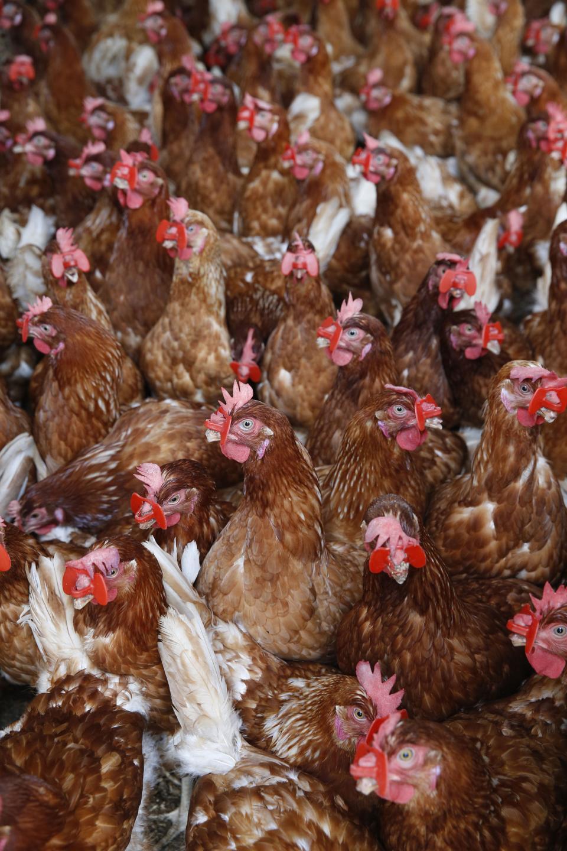 Chicken breeding in Bohicon, Benin