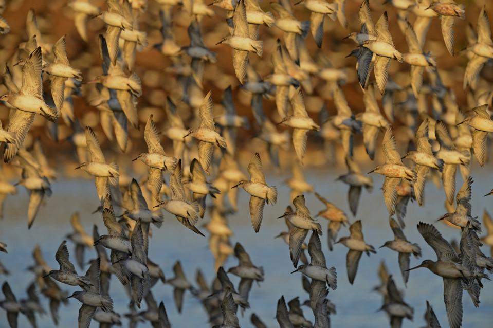 Red Knot, Calidris canutus, flock arriving at high tide roost at Snettisham on The Wash, Norfolk, autumn
