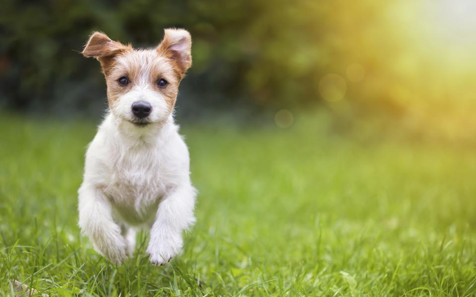 Happy dog running in the grass showing importance of thriving and happiness.