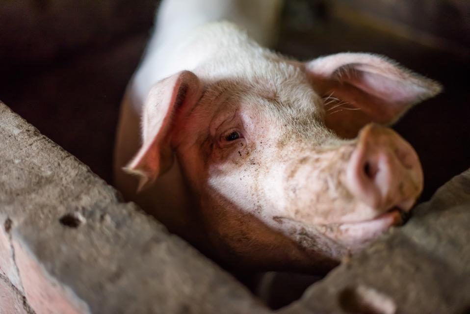 Pig enclosed in a farm
