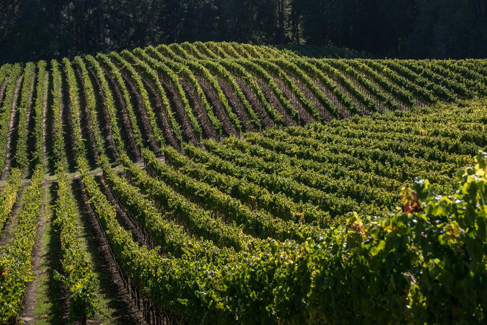 Harvest Time in Sonoma County