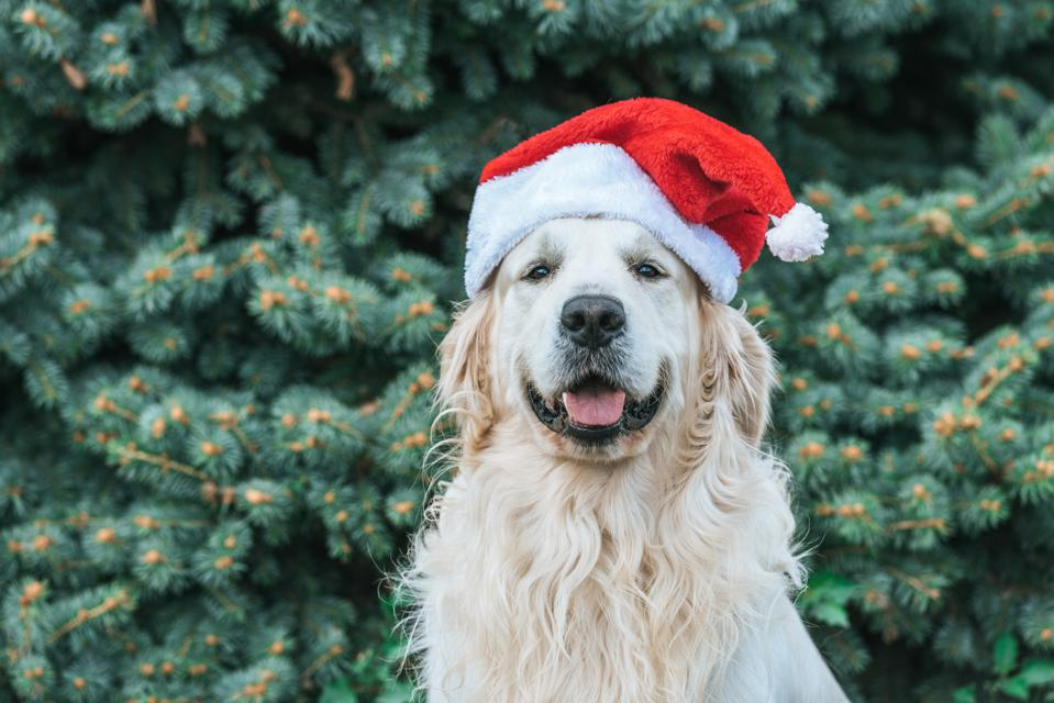 cute funny dog in santa hat sitting near fir tree in park