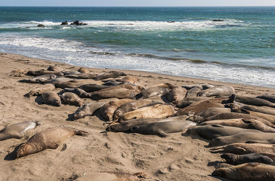 Elephant seals, Point Lobos state reserve, CA