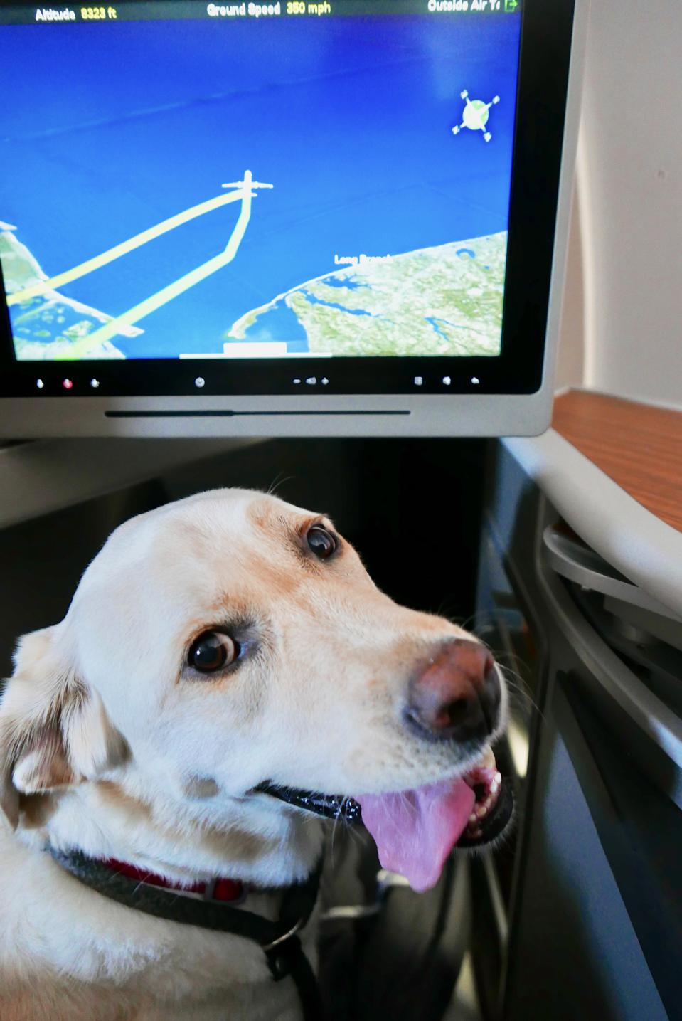 Labrador Retriever on an Airplane