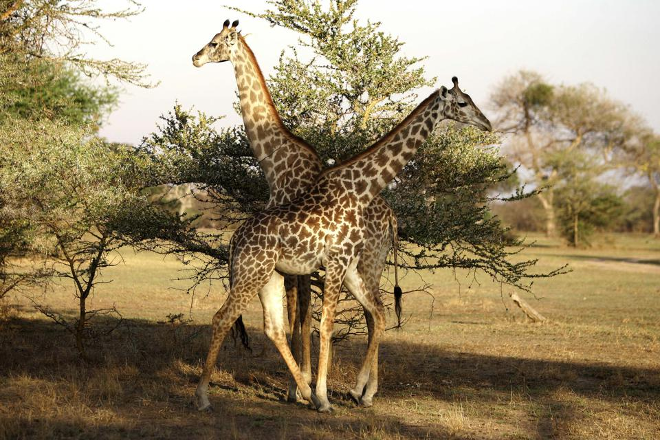 Giraffes graze at the Selous Game Reserv