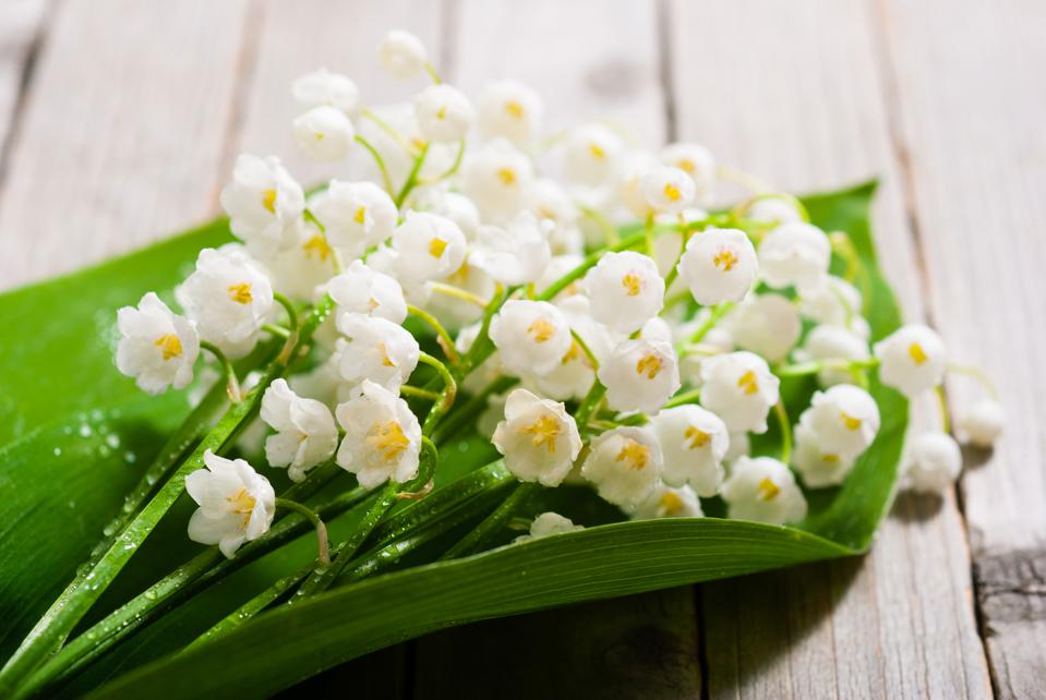 Lily of the Valley is an herb just like cannabis, and it is deadly.