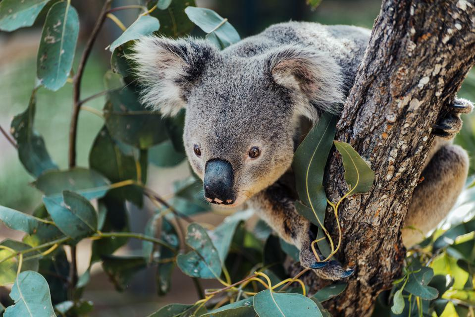 Australia, Queensland, koala perching on tree